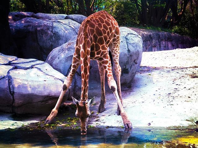 Pijící žirafa