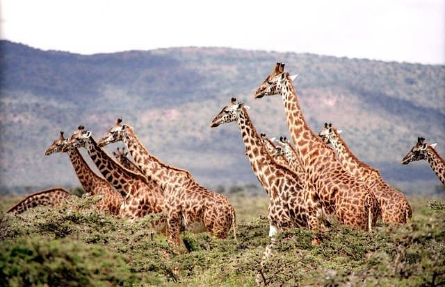 Žirafa na savaně